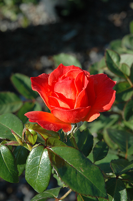 Simple Rose Garden: Livin' Easy™ Rose (Rosa 'HARwelcome') In Indianapolis