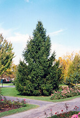Norway Spruce (Picea abies) at Dammann's Garden Company