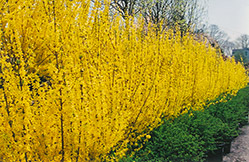 Lynwood Gold Forsythia (Forsythia x intermedia 'Lynwood Gold') at Dammann's Garden Company