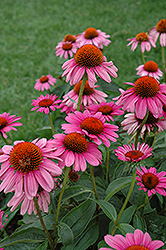 Ruby Star™ Coneflower (Echinacea purpurea 'Rubinstern') at Dammann's Garden Company
