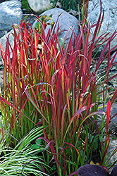 Red Baron Japanese Blood Grass (Imperata cylindrica 'Red Baron') at Dammann's Garden Company