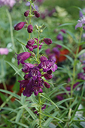 Pike's Peak Purple Beard Tongue (Penstemon x mexicali 'Pike's Peak Purple') at Dammann's Garden Company