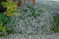 Common Baby's Breath (Gypsophila paniculata) at Dammann's Garden Company