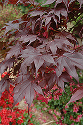 Bloodgood Japanese Maple (Acer palmatum 'Bloodgood') at Dammann's Garden Company