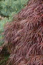 Red Select Cutleaf Japanese Maple (Acer palmatum 'Dissectum Red Select') at Dammann's Garden Company
