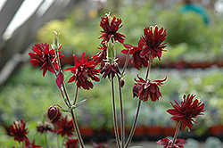 Ruby Port Double Columbine (Aquilegia vulgaris 'Ruby Port') at Dammann's Garden Company