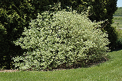 Silver and Gold Dogwood (Cornus sericea 'Silver and Gold') at Dammann's Garden Company