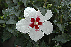Lil' Kim® Rose of Sharon (Hibiscus syriacus 'Antong Two') at Dammann's Garden Company