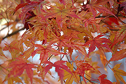 Butterfly Variegated Japanese Maple (Acer palmatum 'Butterfly') at Dammann's Garden Company