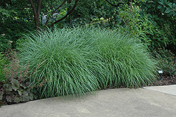 Little Kitten Dwarf Maiden Grass (Miscanthus sinensis 'Little Kitten') at Dammann's Garden Company