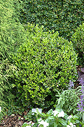 Winter Gem Boxwood (Buxus microphylla 'Winter Gem') at Dammann's Garden Company