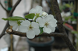 Hosui Asian Pear (Pyrus pyrifolia 'Hosui') at Dammann's Garden Company