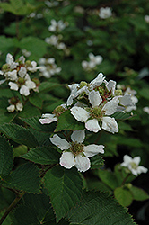 Triple Crown Blackberry (Rubus allegheniensis 'Triple Crown') at Dammann's Garden Company