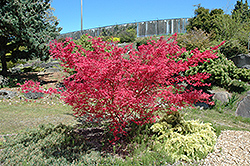 Shindeshojo Japanese Maple (Acer palmatum 'Shindeshojo') at Dammann's Garden Company