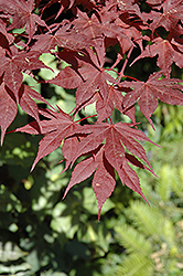 Purple Ghost Japanese Maple (Acer palmatum 'Purple Ghost') at Dammann's Garden Company