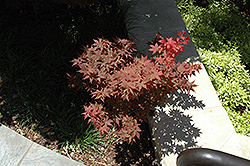 Ruby Stars Japanese Maple (Acer palmatum 'Ruby Stars') at Dammann's Garden Company