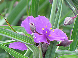 Concord Grape Spiderwort (Tradescantia x andersoniana 'Concord Grape') at Dammann's Garden Company