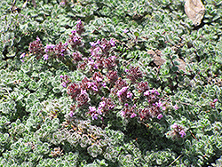 Wooly Thyme (Thymus pseudolanuginosis) at Dammann's Garden Company