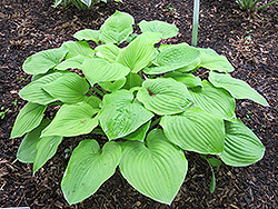 August Moon Hosta (Hosta 'August Moon') at Dammann's Garden Company