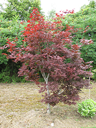 Red Emperor Japanese Maple (Acer palmatum 'Red Emperor') at Dammann's Garden Company