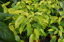 Golden King Weeping Fig (Ficus benjamina 'Golden King') at Dammann's Garden Company