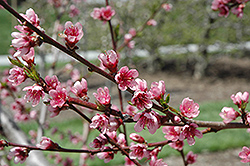 Reliance Peach (Prunus persica 'Reliance') at Dammann's Garden Company