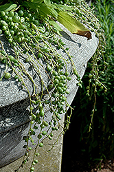 String Of Pearls (Senecio rowleyanus) at Dammann's Garden Company