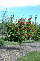 Ruby Slippers Amur Maple (Acer ginnala 'Ruby Slippers') at Dammann's Garden Company
