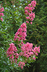 Hopi Crapemyrtle (Lagerstroemia 'Hopi') at Dammann's Garden Company