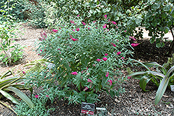 Miss Ruby Butterfly Bush (Buddleia davidii 'Miss Ruby') at Dammann's Garden Company