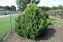 Cream Ball Falsecypress (Chamaecyparis pisifera 'Cream Ball') at Dammann's Garden Company