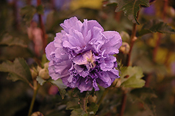 Blueberry Smoothie Rose of Sharon (Hibiscus syriacus 'DS01BS') at Dammann's Garden Company