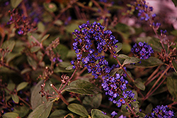 Lo And Behold® Blue Chip Junior Dwarf Butterfly Bush (Buddleia 'Lo And Behold Blue Chip Junior') at Dammann's Garden Company