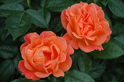 Livin' Easy™ Rose (Rosa 'HARwelcome') at Dammann's Garden Company