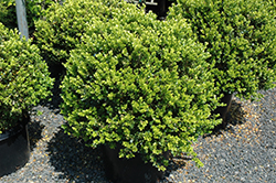 Green Beauty Boxwood (globe form) (Buxus 'Green Beauty (globe)') at Dammann's Garden Company
