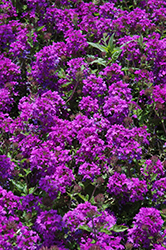Homestead Purple Verbena (Verbena 'Homestead Purple') at Dammann's Garden Company