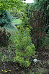Green Star Umbrella Pine (Sciadopitys verticillata 'Green Star') at Dammann's Garden Company