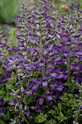Decadence® Blueberry Sundae False Indigo (Baptisia 'Blueberry Sundae') at Dammann's Garden Company