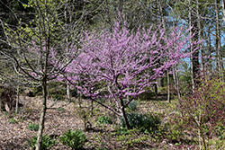 Hearts of Gold Redbud (Cercis canadensis 'Hearts of Gold') at Dammann's Garden Company