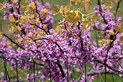 The Rising Sun Redbud (Cercis canadensis 'The Rising Sun') at Dammann's Garden Company