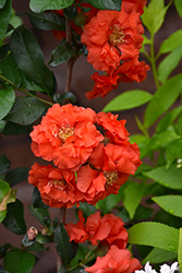 Double Take Orange™ Flowering Quince (Chaenomeles speciosa 'Double Take Orange Storm') at Dammann's Garden Company
