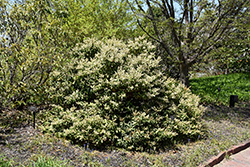 Mountain Pieris (Pieris floribunda) at Dammann's Garden Company