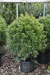 Compact Inkberry Holly (Ilex glabra 'Compacta') at Dammann's Garden Company