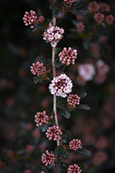 Little Devil™ Ninebark (Physocarpus opulifolius 'Donna May') at Dammann's Garden Company