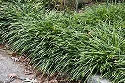 Big Blue Lily Turf (Liriope muscari 'Big Blue') at Dammann's Garden Company