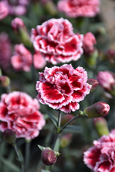 Scent First® Sugar Plum Pinks (Dianthus 'WP IAN04') at Dammann's Garden Company