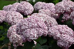 Incrediball® Blush Smooth Hydrangea (Hydrangea arborescens 'NCHA4') at Dammann's Garden Company