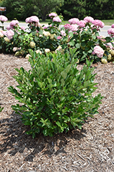 Low Scape® Hedger Aronia (Aronia melanocarpa 'UCONNAM166') at Dammann's Garden Company