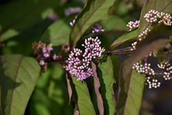 Purple Pearls® Beautyberry (Callicarpa 'NCCX1') at Dammann's Garden Company
