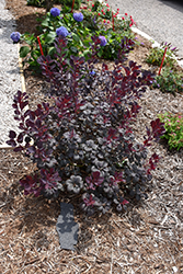 Winecraft Black® Smokebush (Cotinus coggygria 'NCCO1') at Dammann's Garden Company